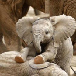'Madre Natura' al contrattacco: gli elefanti africani si stanno evolvendo senza le zanne per difendersi dai bracconieri
