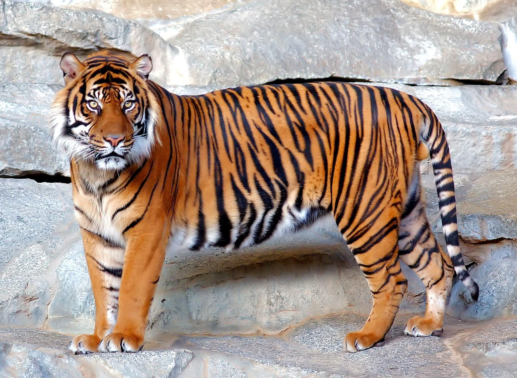 Tigre_1