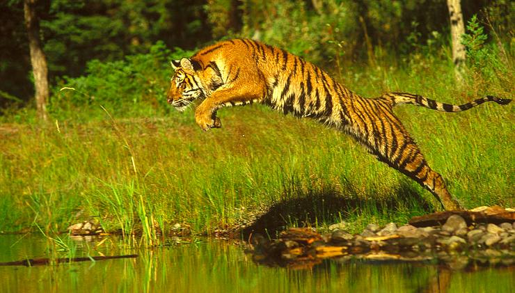 tigre-del-bengala-che-salta