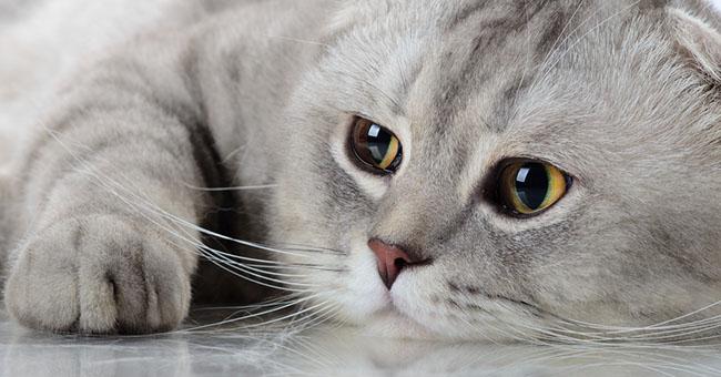 gatto_scottish