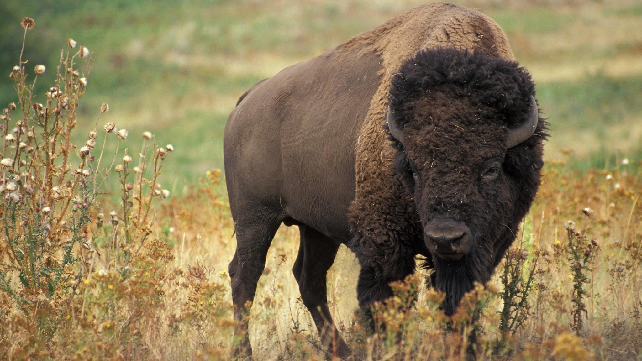 imponente-bisonte-americano
