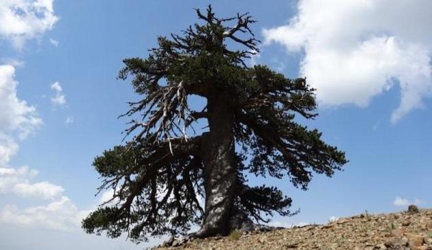È un pino il più antico essere vivente europeo