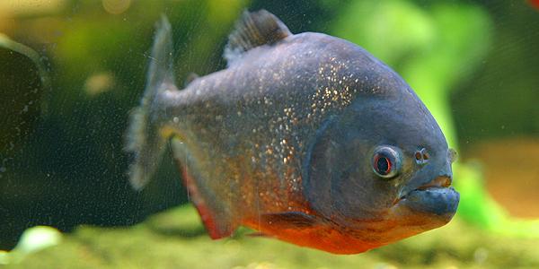 piranha-014
