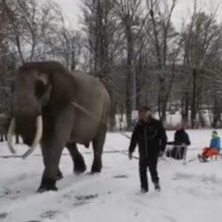 Elefante africano in Germania costretto a trainare le slitte dei bambini sulla neve