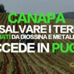 Coltivare canapa per salvare i terreni contaminati da diossina e metalli pesanti. Succede in Puglia, nel silenzio più assoluto dei media. Sarà vero?