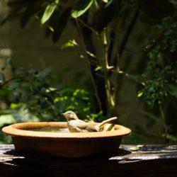 Mettete una ciotola d'acqua sul balcone, può salvare migliaia di uccelli dal caldo