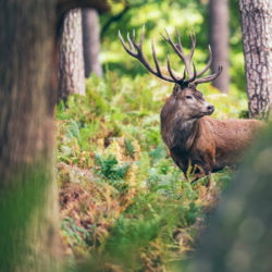 Cercansi volontari per censire cervi e monitorare lupi nel Parco Nazionale delle Foresti casentinesi
